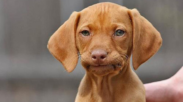 puppy-not-impressed-1-630x350