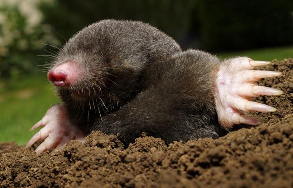 shutterstock_mole.jpg.CROP.original-original